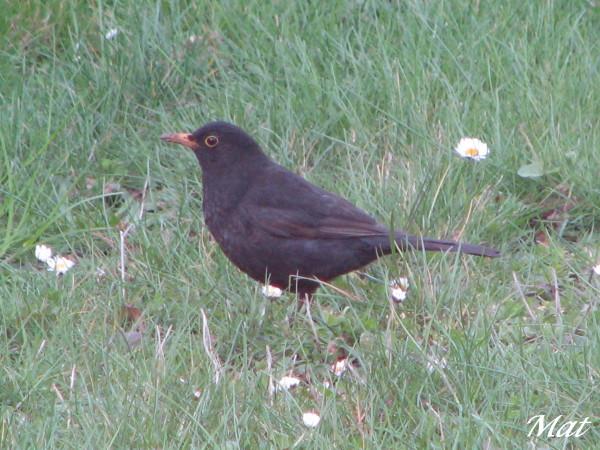 Oiseaux noir avec bec orange ii etait une fois les for Oiseau noir bec orange